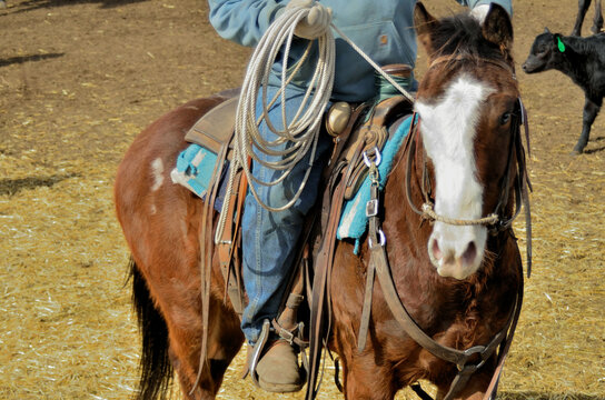 Rural Activity: Ranch horse with rider who is ready to rope.