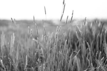 Polne rośliny, trawy. Zdjęcie monochromatyczne, czarno-białe.