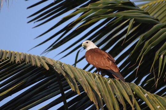 Brahminy kite resting on coconut tree at Bangalore City
