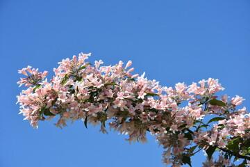 Obraz wioseny kwitnący krzew - fototapety do salonu