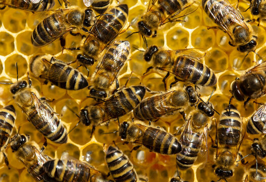 Active work of bees during honey collection. Inside the hive, the bees create a honeycomb of wax and convert the nectar into honey.