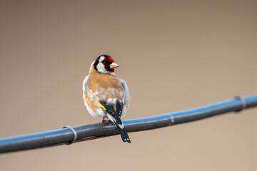 Szczygieł na przewodzie elektrycznym. Kolorowy ptak na drucie.