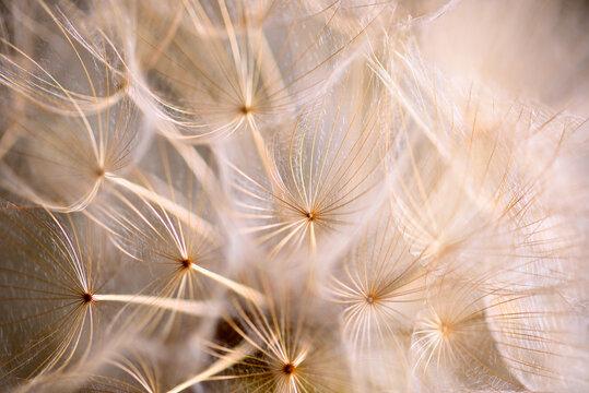 Winged seeds of dandelion head plant