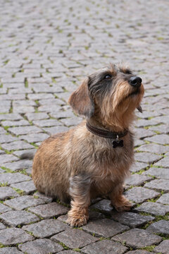 Wire-haired dachshund with collar sits on a cobblestone street and looks up with a faithful look. Copy space