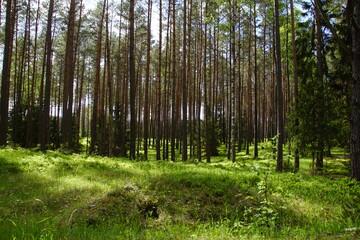 Las ,młody las ,zielony las