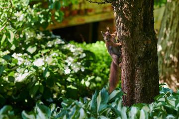 Wiewiórka Ruda Kitka pozuje do zdjęć na jednym z drzew w parku lub lesie.