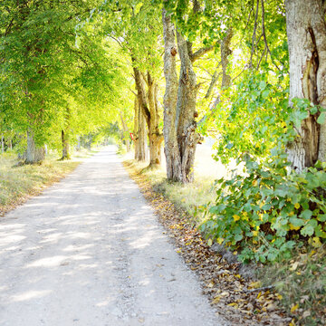 Rural road (alley) through the deciduous trees, natural tunnel. Old tree trunks and green leaves close-up. Sunlight, shadows on the ground. Ecology, tourism, environment, nordic walking, recreation