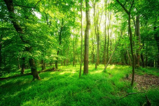 Sonnenschein im grünen Buchen Mischwald