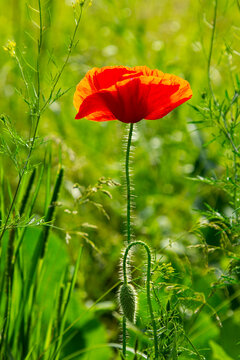 Blooming red decorative poppy. This plant adorns the garden and vegetable garden.
