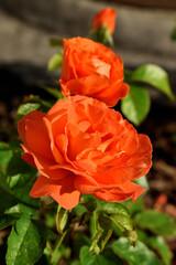 Fototapeta Róże 2 obraz