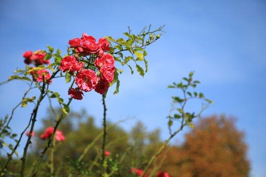 파란 하늘과 장미
