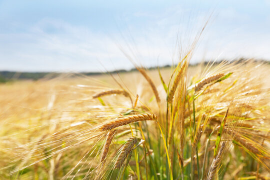 Ripe ears of barley in a field. Field of barley in a summer day. Harvesting period.