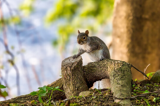 Gray squirrel on a tree. Room for copy text.