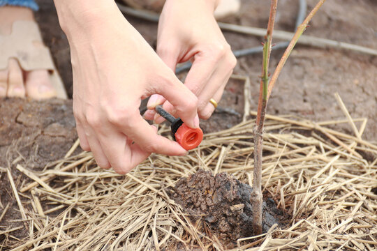 Plants Drip irrigation system and soil drip with plant saplings.