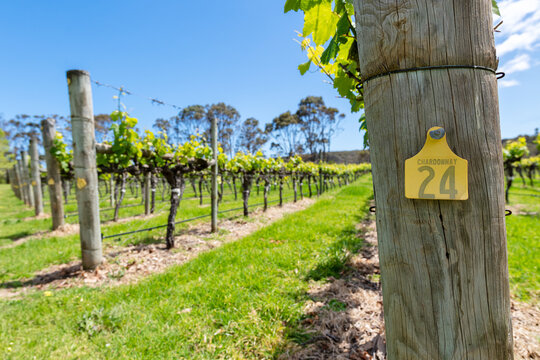 Vineyards in spring with new group on the vine