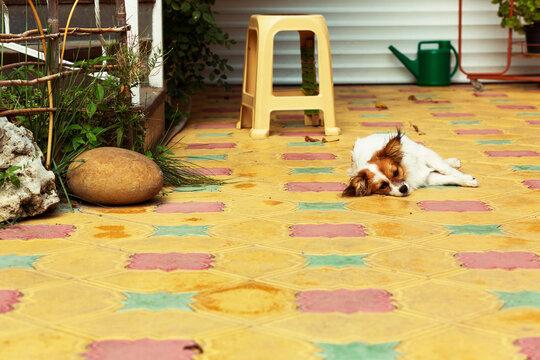 Small dog resting in the patio of a house in Adler. Russia; Black Sea; Krasnodar Region, Anapa