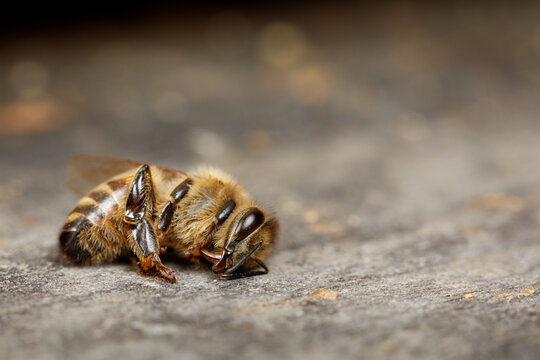 Dead Honey Bee