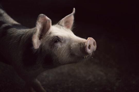 Pig Eating Portrait