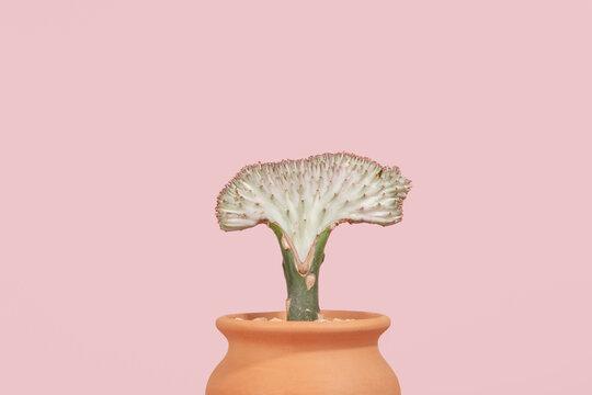 Euphorbia houseplant on pink