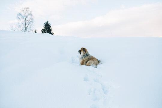 Chow chow dog enjoying the snow