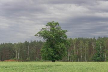 Samotny dąb rosnący wśród łąk i pól.