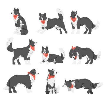 Border Collie Dog Set, Shepherd Pet Animal with Black White Coat in Red Neckerchief Cartoon Vector Illustration