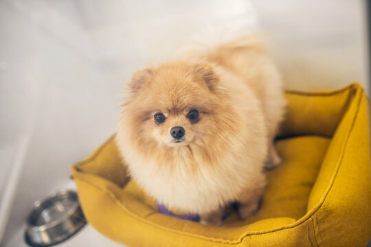 Close up of a cute spitz in a pet bed