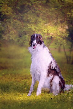 Portrait of the Russian borzoi sitting on the grass on the  green forest background