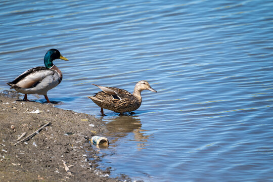 A female mallard and male drake duck family dips their feet in the water to swim. Beer can litter in the photo
