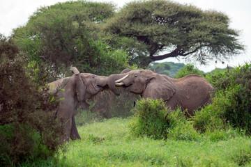 African bush elephant (Loxodonta africana) fighting head to head in Amboseli national park, kenya on cloudy day Wall mural