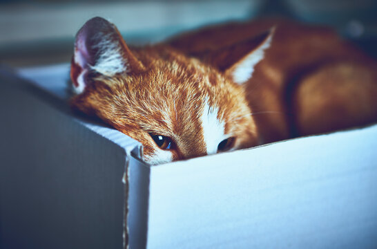 Young Ginger Cat lies in a paper box. Close-up