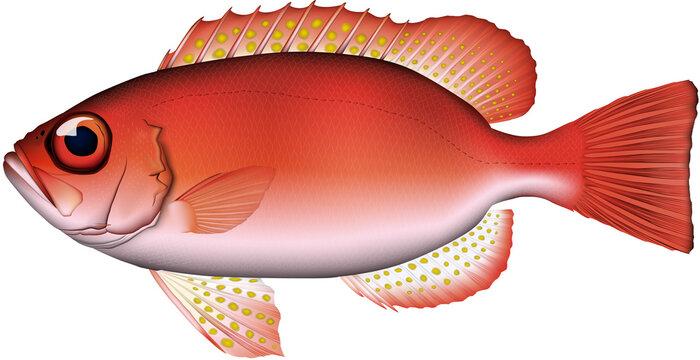 キントキダイ 魚イラスト ベクター AI形式