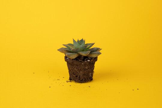 Succulent front yellow BG 4
