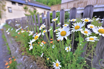 daisies flowers blooming in front of a wooden fence