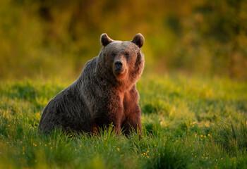 Wild brown bear ( Ursus arctos )