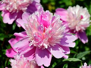 Obraz kwiat różowy - fototapety do salonu