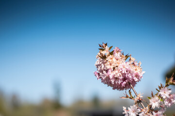 Selective focus shot of cherry blossom flowers