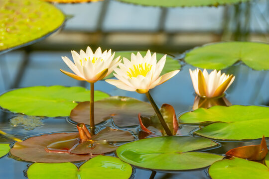 Lily flowers on the water in the rainforest.