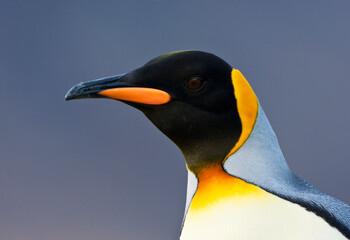 Fototapeta Koningspinguïn, King Penguin, Aptenodytes patagonicus obraz