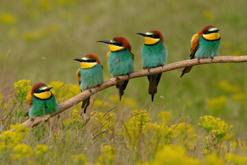 Group of colorful bee-eater on tree branch, against of yellow flowers background