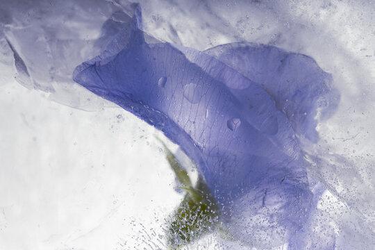 Wicke in Eis 2