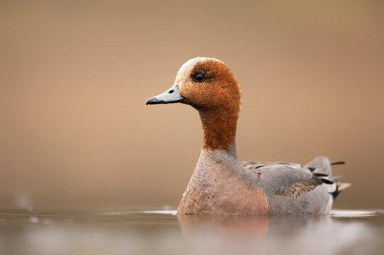 Wigeon duck bird ( Mareca penlope )