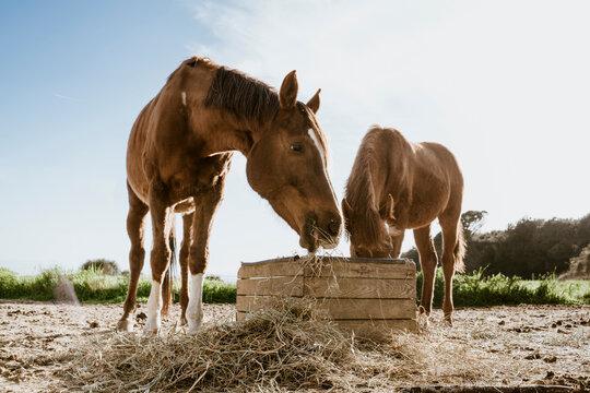 Two brown horses eating hay in field