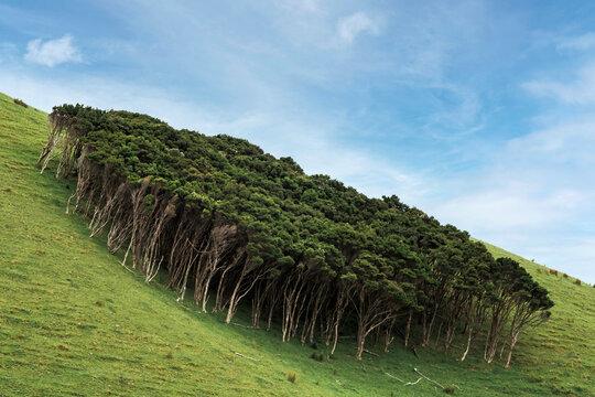Green hillside grove in Coromandel Forest Park