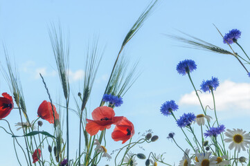 Fototapeta Wildflowers on a background of blue sky. Poppies, cornflowers, chamomile and spikelets of rye obraz