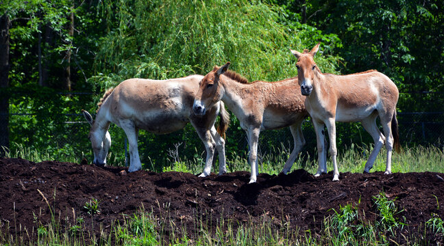 The onager (Equus hemionus), also known as hemione or Asiatic wild ass is a species of the family Equidae (horse family) native to Asia.