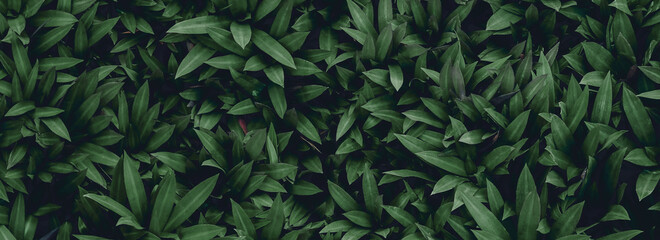 Fototapeta tropical leaves, abstract green leaves texture, nature background obraz