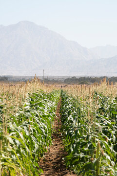 Corn Plantation Maize agriculture, Green landscaping with copy space. High quality photo