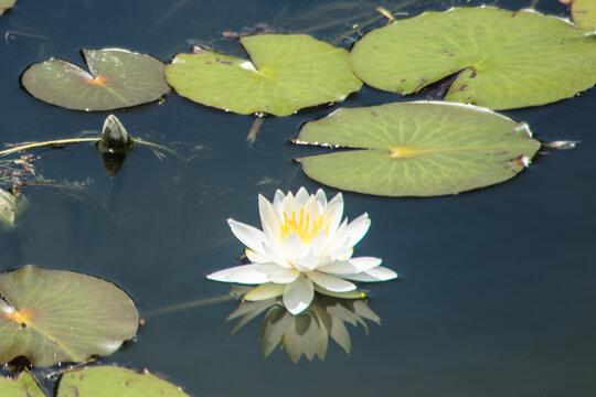 flor de loto en estanque de jardin japones