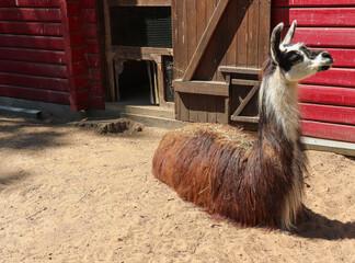 lama, zoo, stojące uszy, zagroda, futro, relax, odpoczynek, zwierzę w zagrodzie ,
